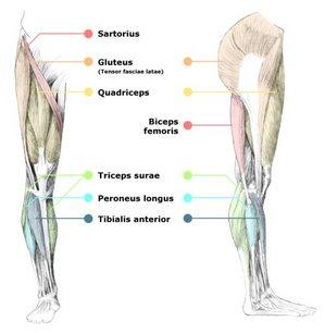 leg-muscles.jpg